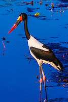 Saddle-billed stork standing in a shallow stream, near Kwara Camp, Okavango Delta, Botswana.