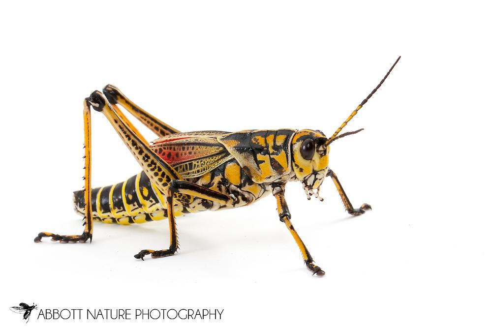 Eastern Lubber Grasshopper (Romalea microptera)<br /> TEXAS: Harris Co.<br /> Houston<br /> 11.Sep.2011 N29.76019 W95.36938<br /> J.C. Abbott
