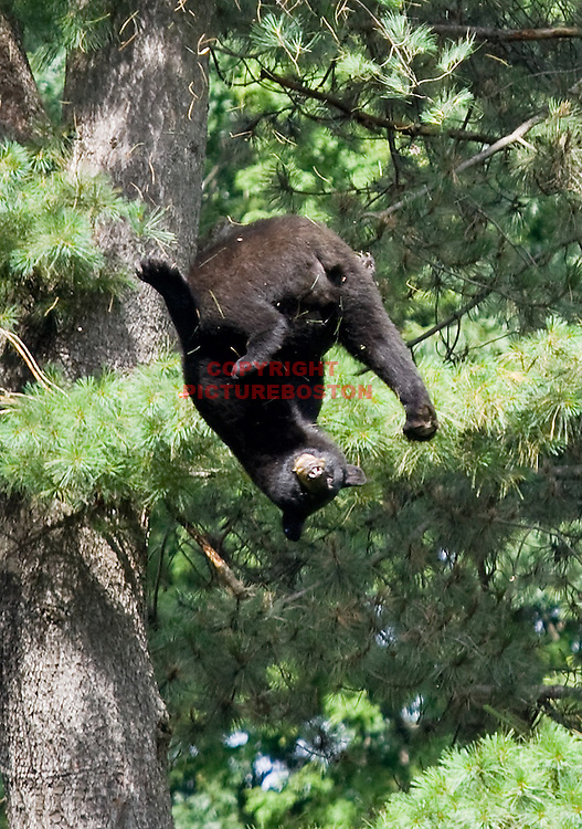 A Black Bear is seen falling from a tree near Hammond St in Brookline today, June 26, 2012. He had just been tranquilized by Environmental Police officers. Staff photo by Mark Garfinkel