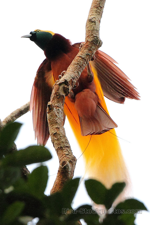 Greater Bird-of-Paradise, Paradisaea apoda, Papua New Guinea, by Marcus Lilje