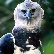 Portrait of Harpy Eagle, Belize Zoo, Belize