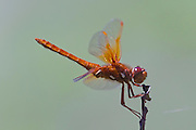A bright-colored flame skimmer (Libellula saturata) feeds on a tiny insect it found at the end of a branch. Flame skimmers are found throughout the western United States.