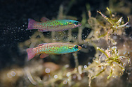 Golden Topminnow<br />
