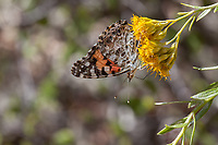 Vanessa cardui (Painted Lady) at Grizzly Flat, Los Angeles Co, CA, USA, on Parish's goldenbush 24-Sep-17