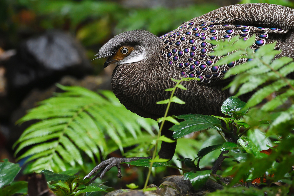 Grey peacock-pheasant bird, Polyplectron bicalcaratum, walking through the forest at Tongbiguan nature reserve, Dehong Prefecture, Yunnan Province, China