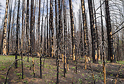 In late May 2014, a burnt forest along Table Mountain Trail #1209 nurtured many wildflowers (see separate photos), Blewett Pass, Wenatchee National Forest, Washington, USA