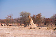 Termite mound. Termites are eusocial colonial insects mostly found in the tropics. The mounds they build are a combination of mud and chewed wood and can be several metres high. They can have a complex internal structure. This termite mound is an example of those found in Australia. These can reach a height of 6 metres, and be 30 metres across their base. The termites bore down below the surface to depths of up to 40 metres to find water. Photographed in Kaokoveld, Namibia, Africa