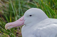 Wandering Albatross nesting on Prion Island in South Georgia.