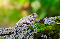 A gray tree frog poses on a mossy tree branch.<br /> <br /> &copy;2015, Sean Phillips<br /> http://www.RiverwoodPhotography.com