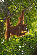 A Sumatran orangutan hangs easily from a liana while feeding on a selection of insects.