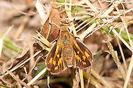 Fiery Skipper (Hylephila phyleus) - female<br /> TEXAS: Victoria Co.<br /> Riverside Park; Victoria<br /> 14.Nov.2009<br /> J.C. Abbott