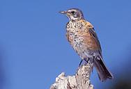 American Robin- Turdus migratorius - Juvenile