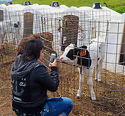 """Demonstrating """"selfies"""" for calves at Point Reyes Farmstead"""