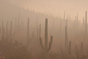 Winter storms bring rain and fog to Saguaro National Park West, Tucson Mountains, Sonoran Desert, Tucson, Arizona, USA.