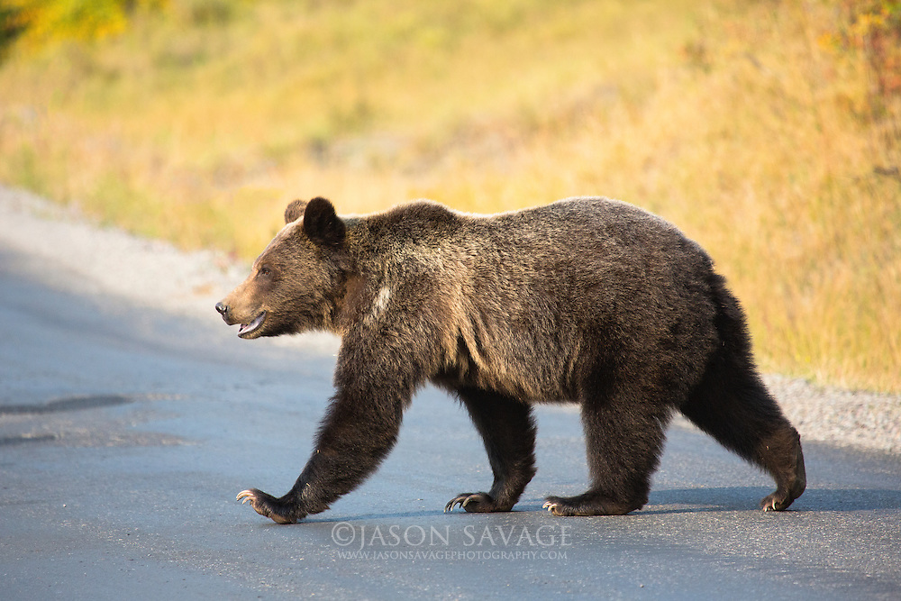 Grizzly Bear crossing in Glacier National Park