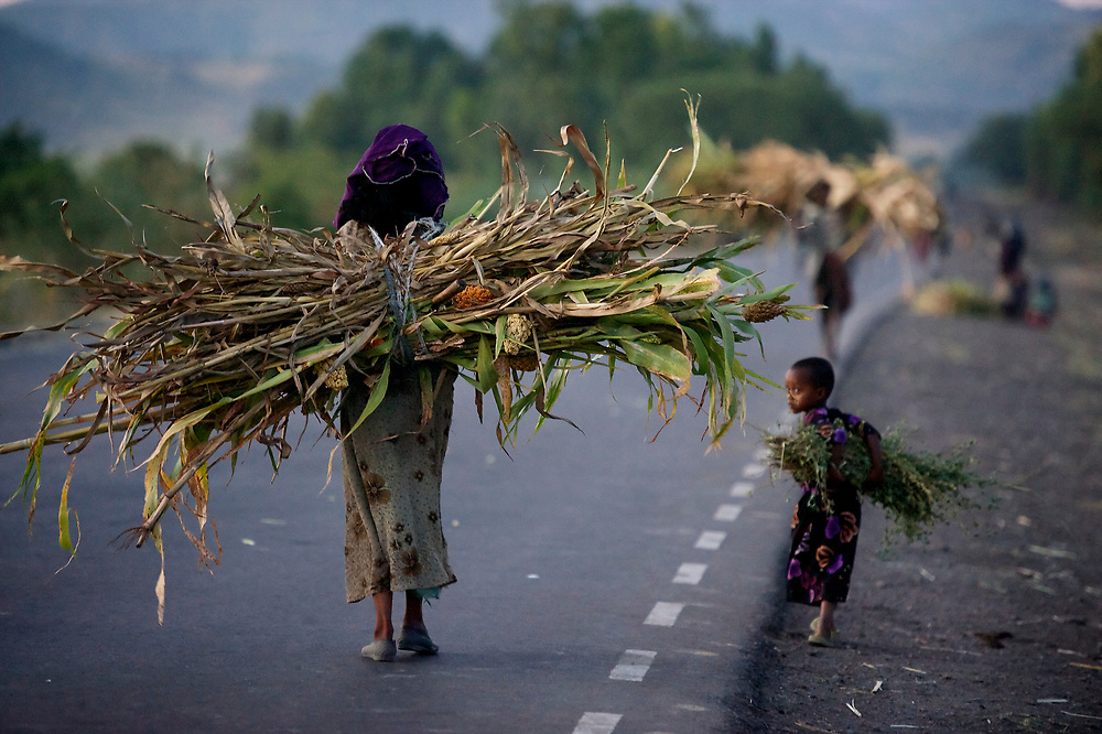 Women carry sorghum home from the fields along the road south of Kombulcha, Ethiopia. <br /> <br /> Sorghum is a staple of the food supply here. The grain will be part of dinner tonight and the stalks will be fed to the cattle and other livestock. The long stalks are favored because of the volume of forage the provide. <br /> <br /> <br /> Contact: Genene Gezu<br /> Program Coordinator<br /> Ethio-Organic Seed Action (EOSA)<br /> Tel: +251 11 550 22 88<br /> Mobile: +251 91 1 79 56 22<br /> genenegezu@yahoo.com<br /> shigenene@gmail.com<br /> PO Box 5512<br /> Addis Aababa, Ethiopia