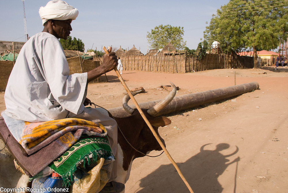 A man rides a cow and leads his cattle across the streets of Abyei.