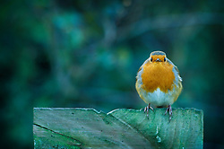 Robin perched on a wooden post, Foxton, Leicestershire, England, UK, Europe.