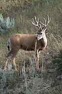 Mule Deer buck in habitat