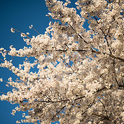 Washington DC's famous cherry blossoms in full bloom along the Tidal Basin in Washington DC. Some of the oldest trees are from the original planting over 100 years ago.
