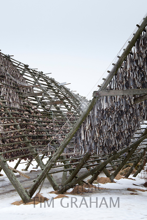 Stockfish cod drying on traditional racks, hjell, in the Arctic Circle on the island of Ringvassoya in region of Tromso, Northern Norway