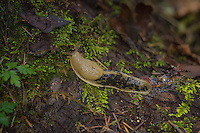 The Pacific banana slug (Ariolimax columbianus) is the world's second-largest terrestrial slug in the world and can grow up to 9.8 inches (25 cm) long. They live on the forest floors in the Pacific Northwest, and are most often seen cruising along the leaf litter or on decaying wood at a maximum speed of  6 1⁄2 inches (17 cm) per minute. Because they get moisture through their skin, banana slugs need a moist environment in order to survive, and the wet, mild climate of western Washington, Oregon and British Columbia meets that need perfectly. This one was found in a disturbed suburban park in Kent, Washington.