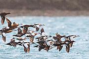 Steller's Eiders, Polysticta stelleri, flock, Barent's Sea, Norway