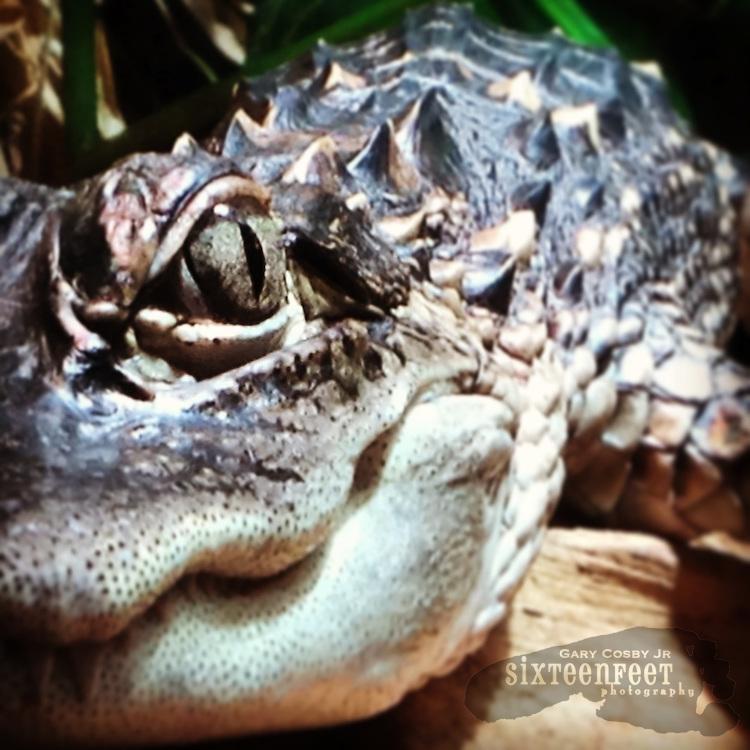 Gary Cosby Jr.  iPhone photographs  Eye of an alligator, Tennessee Aquarium.