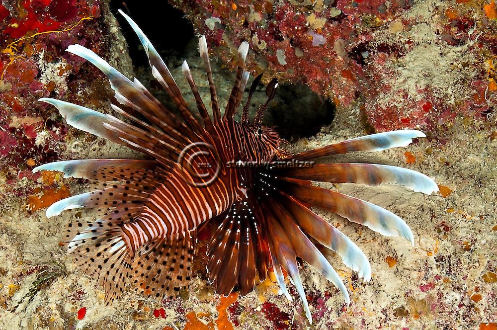 Lionfish, Pterois volitans, (Linnaeus 1758), Grand Cayman