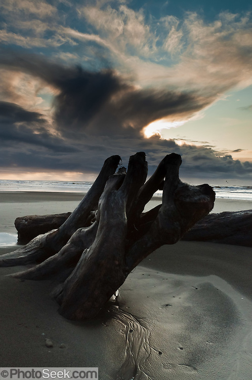 Sunset sheds light upon a stormy anvil cloud, blue sky, and log driftwood embedded in sand seen from Kalaloch Beach, Olympic National Park, Washington, USA.