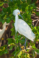 Sunlight reflected off the water illuminates a beautiful snowy egret as it congregates with other snowy egrets in the mangroves of Sanibel Island in Southwest Florida during breeding season.