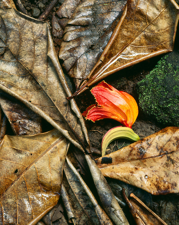 6203-1040 ~ Copyright: George H. H. Huey ~ Blossom of African tulip tree [Spathodea campanulata] on the rainforest floor. Dominica, Windward Islands, Lesser Antilles, Caribbean.