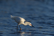 Snowy Egret hunting for food