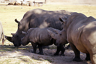 Rhinoceros /raɪˈnɒsərəs/, often abbreviated as rhino, is a group of five extant species of odd-toed ungulates in the family Rhinocerotidae. Two of these species are native to Africa and three to Southern Asia.<br />