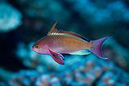 Pseudanthias squamipinnis (Scalefin Anthias)