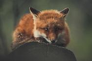 A young red fox (Vulpus vulpus) on his favorite spot. Yukon Territory, Canada