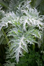Cynara cardunculus. Cardoon, Artichoke thistle