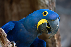 A hyacinth macaw (Anodorhynchus hyacinthinus) peeks out from a nest hidden in a cavity of a tree with a loud squawk, Mato Grosso, Pantanal, Brasil,South America