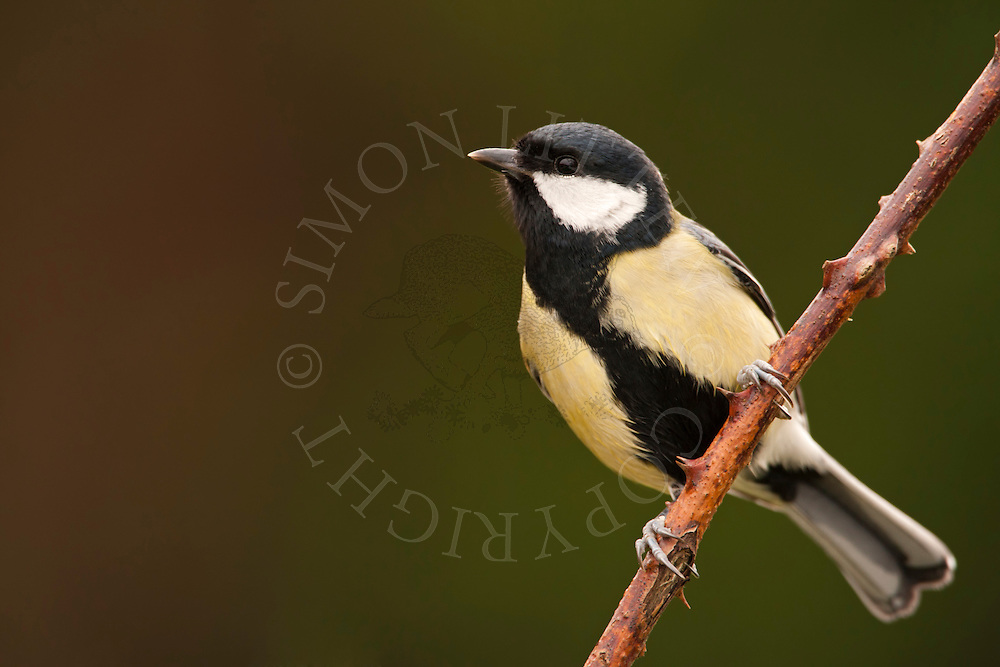 Great Tit (Parus major) adult, perched on bramble, winter, UK.