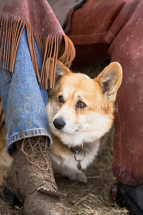 This Corgi canine peeks out between the legs of his Cowboy pals to watch the action.