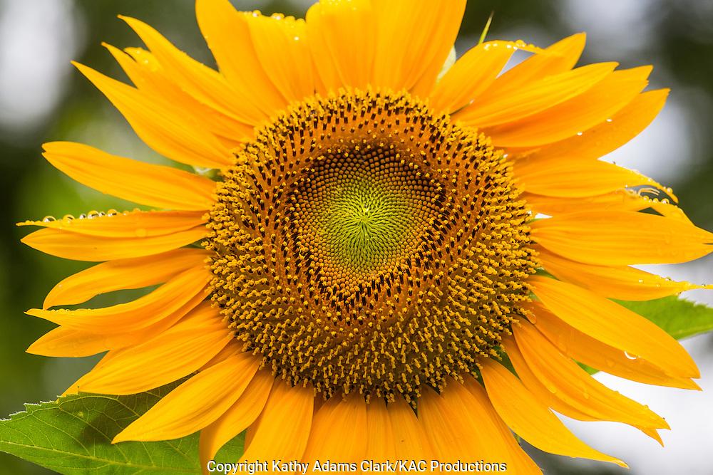 giant sunflower, bloom, Antique Rose Emporium, Independence, Texas, Summer
