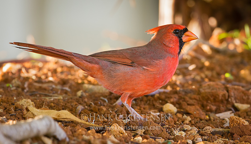 A male northern cardinal stands under the shade of a bush