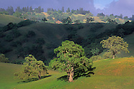 Oak trees and green grass in spring on the rolling hills of the O'Connell Ranch, Santa Clara County, California