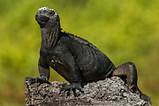 Marine Iguana (Amblyrhynchus cristatus)<br /> Puerto Ayora, Santa Cruz Island, GALAPAGOS ISLANDS<br /> ECUADOR.  South America<br /> ENDEMIC TO THE ISLANDS<br /> These are the only true marine lizards in the world. Although not truely social they are highly gregarious, often spending cool nights in tight clusters. As the sun rizes they can be seen sunning themselves on the rocks to heat up before going into the sea to feed. Their black coloration helps them to absorb the sun's energy and to camourflage on the lava rocks.