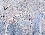 Black oak branches in winter, Yosemite Valley, Yosemite National Park, California