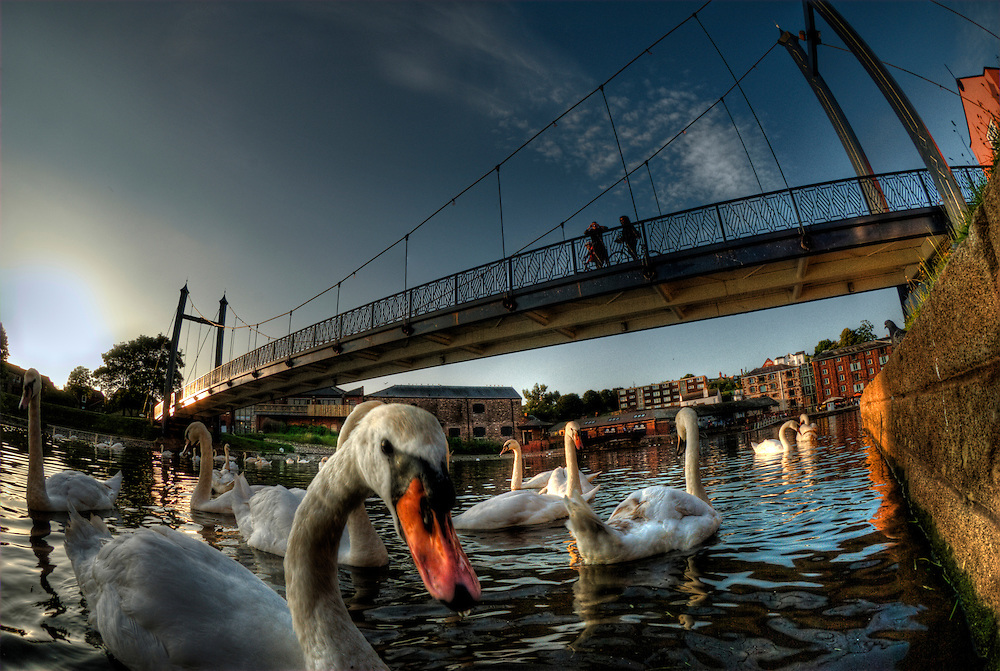 Mute swans (Cygnus olor) congregating beneath Cricklepit suspension bridge, near Exeter quayside, central Exeter, Devon, England.  Exeter is famed for the number of swans found in the centre of town on the River Exe.  HDR image.