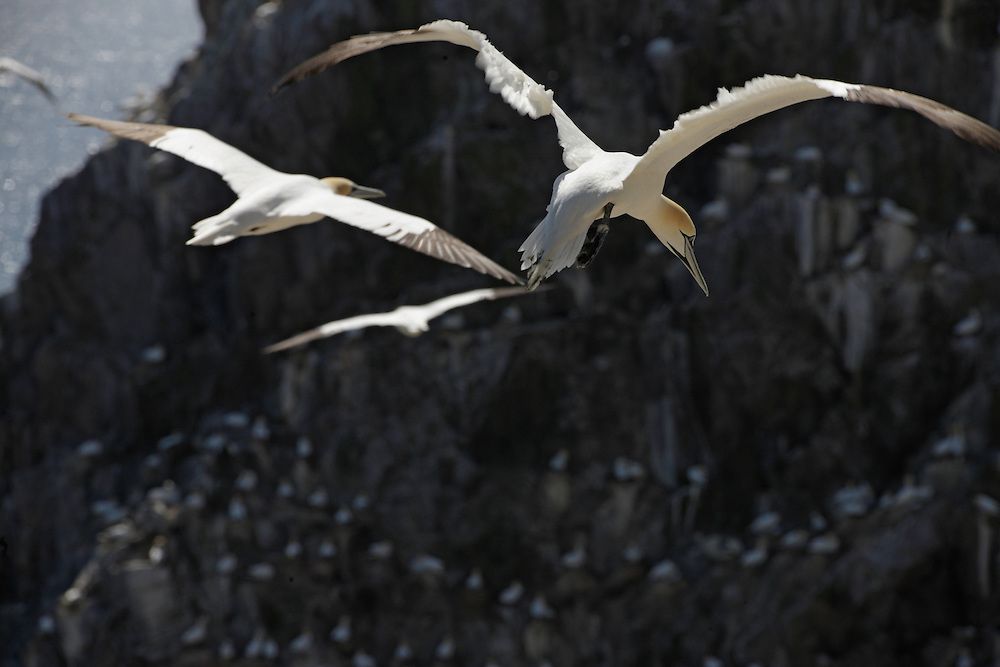 Gannets Sula bassana colony Saltee Islands Ireland