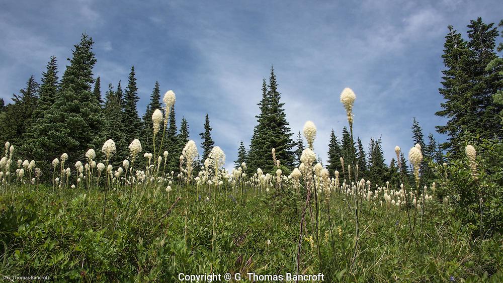 Beargrass meadow along Naches Peak Loop Trail.