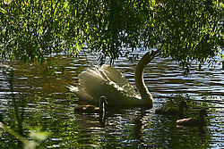© Licensed to London News Pictures. 02/06/2013. London, UK A family of swans take to the shade of a tree on the watercourse. People enjoy the sunshine in the grounds of Chiswick house, West London, today 2nd June 2013. Photo credit : Stephen Simpson/LNP