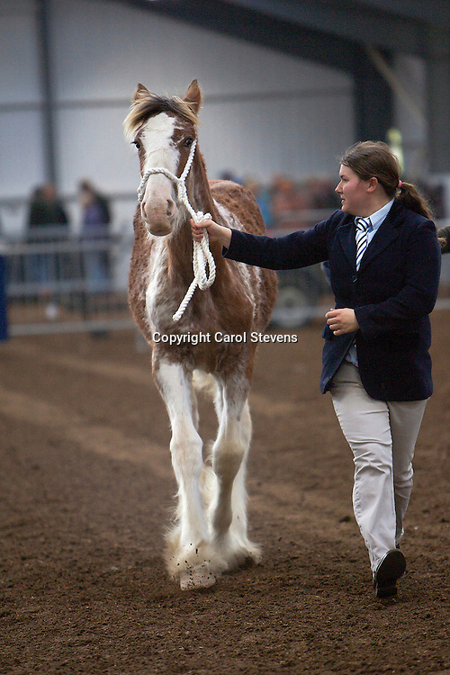 North West and Wales Shire Foal Society 2012<br /> Miss C Young's foal Downhill Heather II <br /> Champion Clydesdale